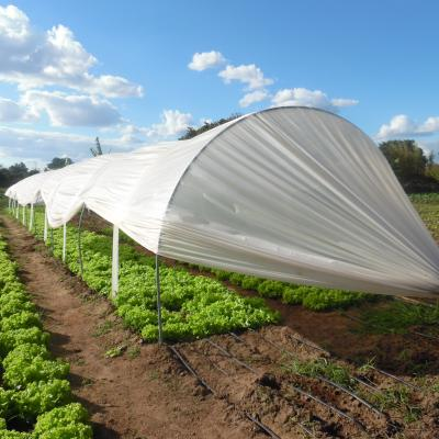 Improved lettuce variety Veneranda from Brazil under protected cultivation (mini-tunnel) with drip-irrigation system