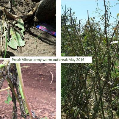 Army worm outbreak in Preah Vihear